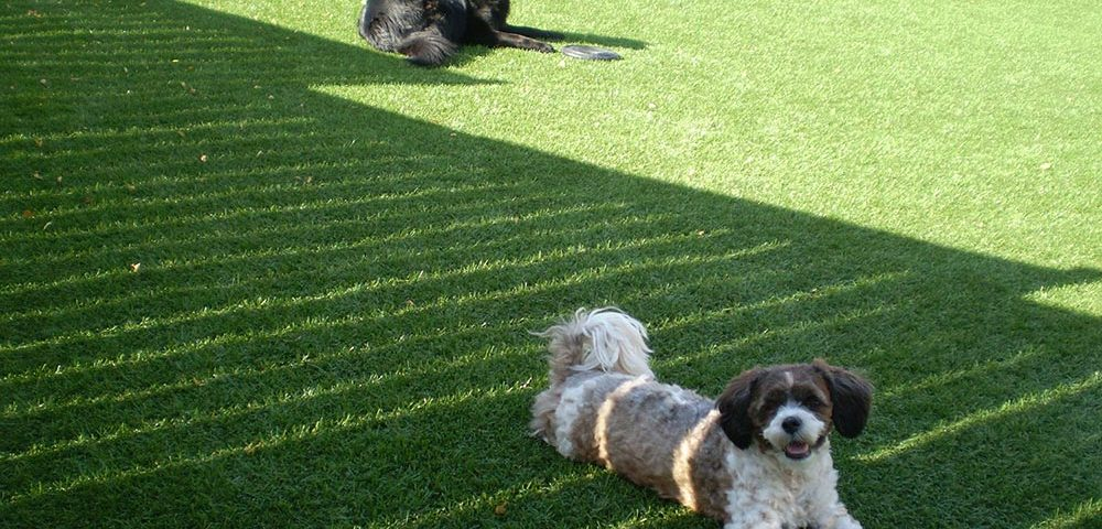 dogs play on artificial grass lawn new market