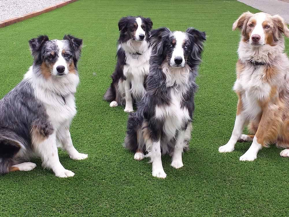dogs standing on artificial turf