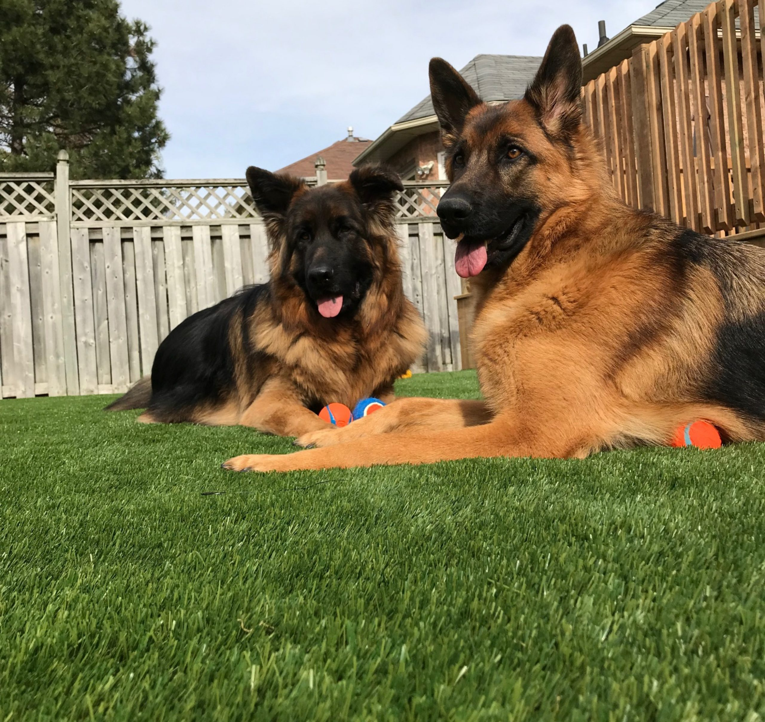 German sheperds on K9-70 CHAMPION DF turf very clean