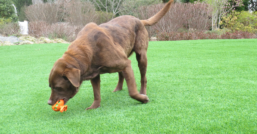 Brown labrador retrevior enjoying soft artificial grass